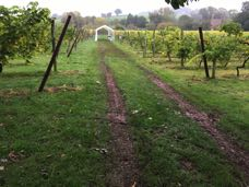 Empty vineyard: just the tracks show how heavy the crop was.